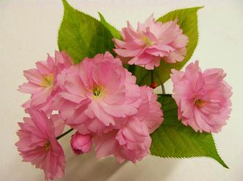 20170417八重桜.jpg